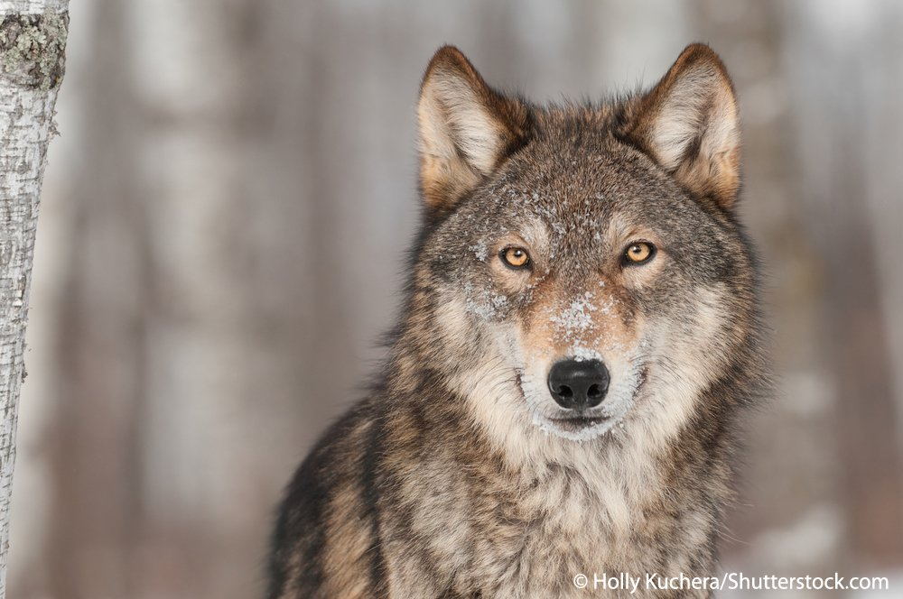 Are Europe's #wolves a threat to humans, or should they be protected?  https://www. theguardian.com/world/2017/feb /25/europe-wolf-population-finland-culling-protection &nbsp; … <br>http://pic.twitter.com/1Yz1hnLlaP