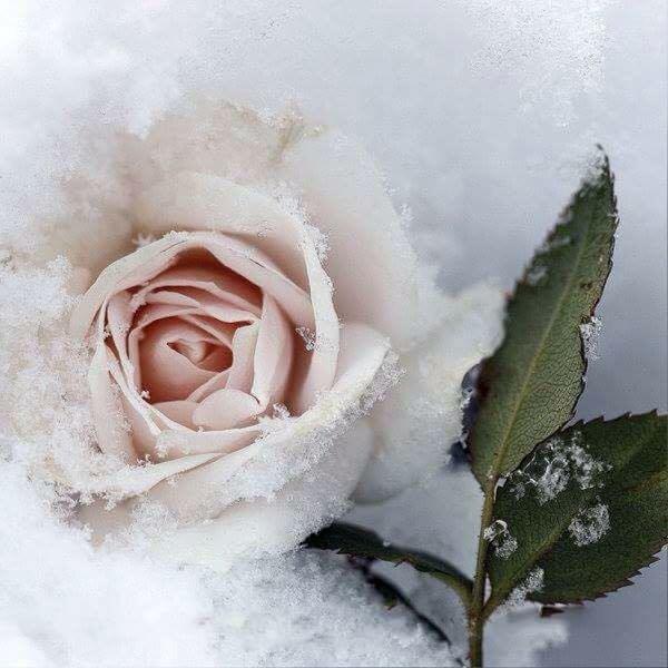 Картинки, картинки белая роза на снегу