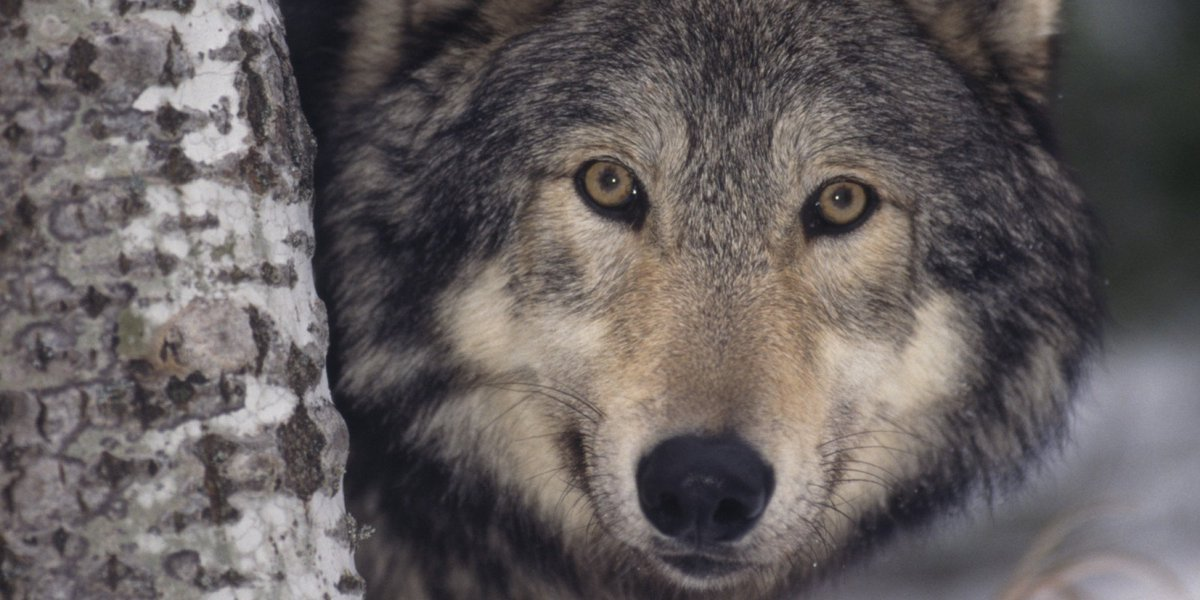#Wolves  A WILD WOLF, A HALF-WILD HUSKY, A WILY OLD TRAPPER!   WOLFBLOOD  Free Story in Jack London Tradition...    http://www. CivilizedBears.com/Wolfblood-Nort hwestern-Jack-London-tradition/ &nbsp; … <br>http://pic.twitter.com/lICoKi7U5l