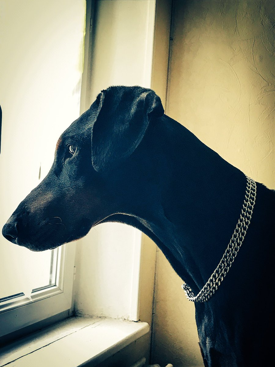 I like to look out i am curious  #doberman #dogsoftwitter j&#39;aime regarder dehors je suis curieux <br>http://pic.twitter.com/ktguC5mjUL