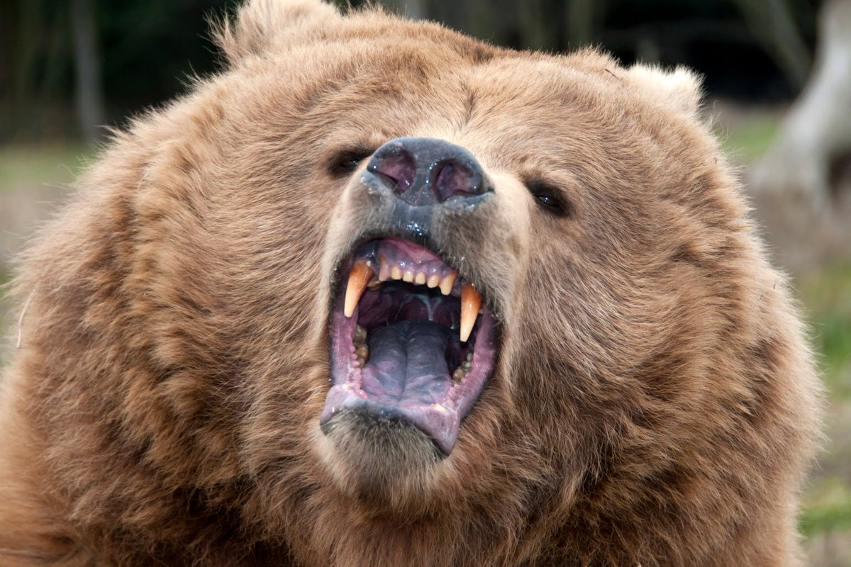 grizzly bear attacks - HD1536×1024