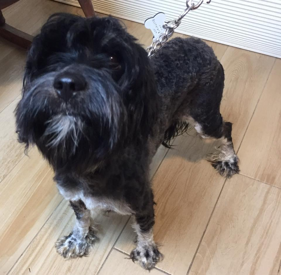 #Adopt me! I\'m Echo, a young female #MiniatureSchnauzer/#Poodle mix. #nkla #dogs #love