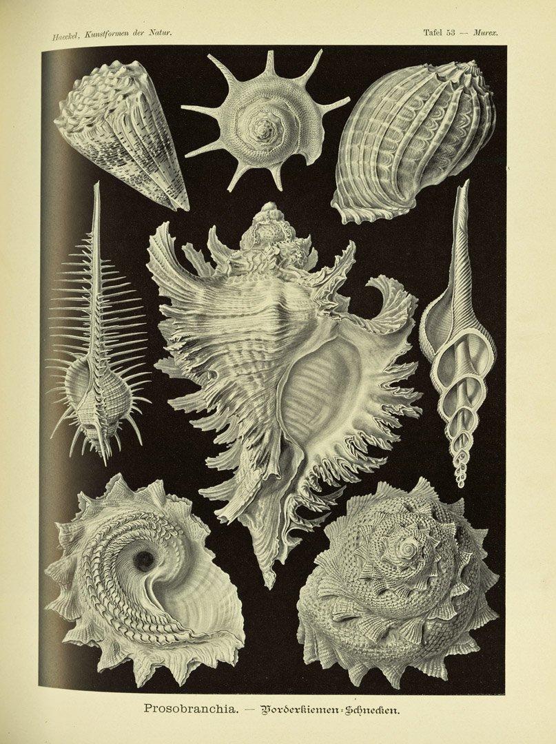 Sea snail ('Prosobranch' gastropods) plate from Haeckel's Kunstformen der Natur for #MolluscMonday https://t.co/PFhsdeFfD7