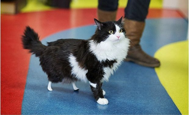 Good for you, Pooh! Pooh the Cat Lost His Back Legs — Then Got New Ones   #cats