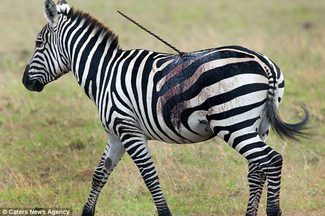 Zebra is SKEWERED by a Maasai warrior's spear but manages to cling to life for days https://t.co/lg9NLvCjeL