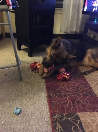 Germain Shepherd Adoption ❯❯  http:// dogfinder.us/3aI8F  &nbsp;   ❮❮ #Dogs #Puppies #DogFinder #AdoptADog<br>http://pic.twitter.com/tg10T6lOQ8