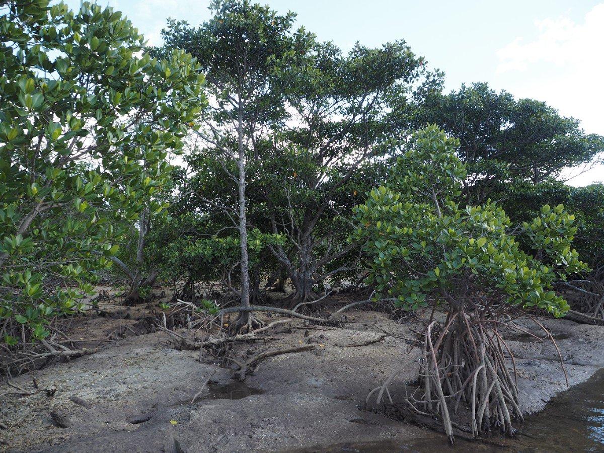 """京大植物研究会 Twitter ನಲ್ಲಿ: """"今日はマングローブ植物を紹介し ..."""