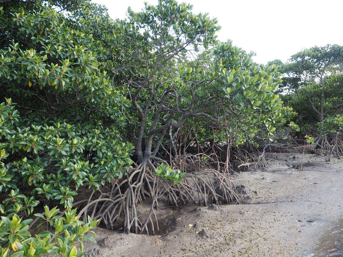 """京大植物研究会 on Twitter: """"今日はマングローブ植物を紹介します ..."""