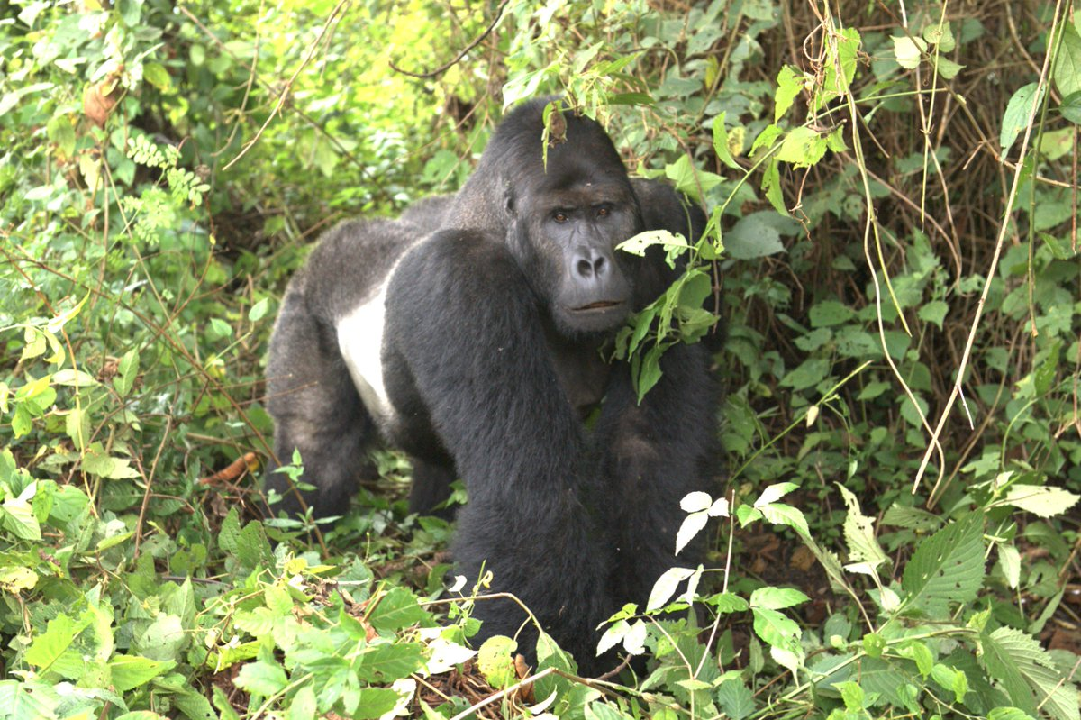 Proposed #Trump policy threatens Critically Endangered Grauer's #gorilla  http:// ht.ly/vKwB309fgwH  &nbsp;  <br>http://pic.twitter.com/82XBFbD63r