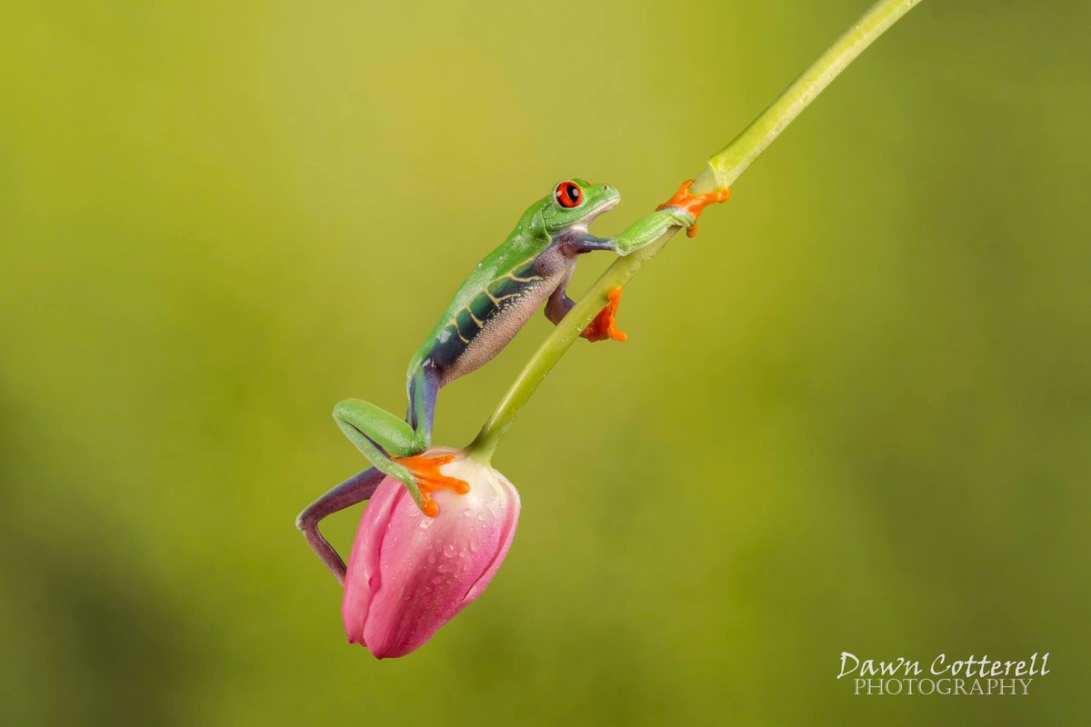 .@dawncotterell13 meets a red-eyed tree frog and gets this cracking shot onto the #WexMondays shortlist https://t.co/jKMinCUttS