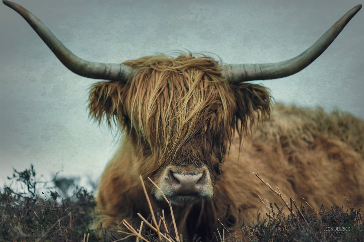 Highland cattle on Baslow Edge, captured by @leon_derrick. Lovely shot #WexMondays https://t.co/8mTv0lFUfB