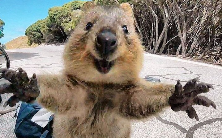 Staggering photo of #quokka jumping straight at camera wows internet