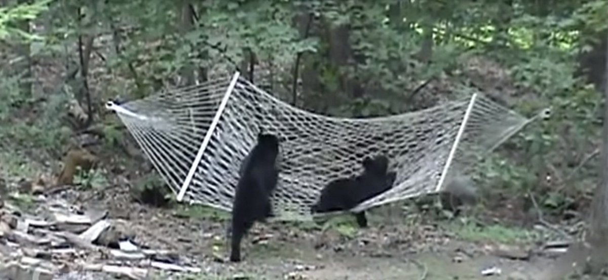 Two Bear Cubs Snuggle In Hammock  VIDEO: https://t.co/FzK9QVWP5W  #bea...