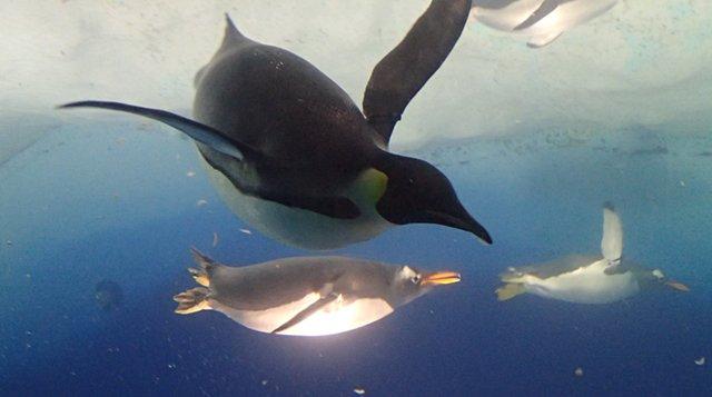 きたー名古屋港水族館。コウテイペンギン飼っているところは少ないからね #けもフレ https://t.co/FiEDxfA73V