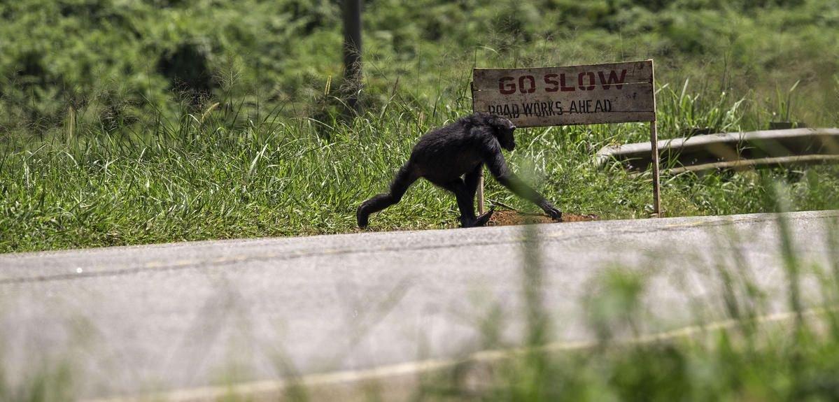 Pour la sortie de #kongskullisland , #CNRSleJournal (re)pose la question de la cohabitation hommes-grands singes  http:// bit.ly/2nndnym  &nbsp;  <br>http://pic.twitter.com/FKPp0w2mBH