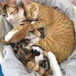 可愛すぎる猫の家族登場どさくさに紛れるお父さん可愛すぎる!