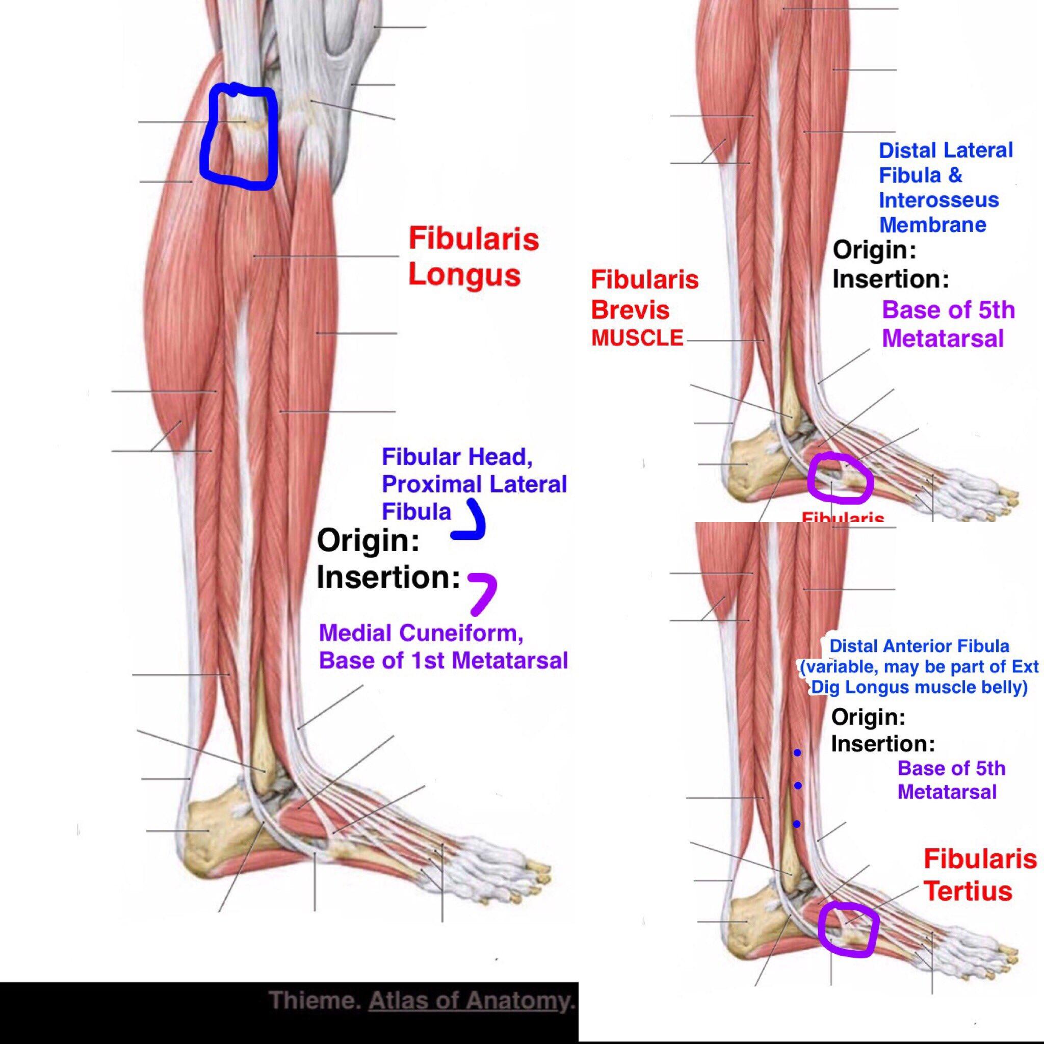 "SnapSPT 👻 on Twitter: ""#Fibularis Anatomy reviewed ..."