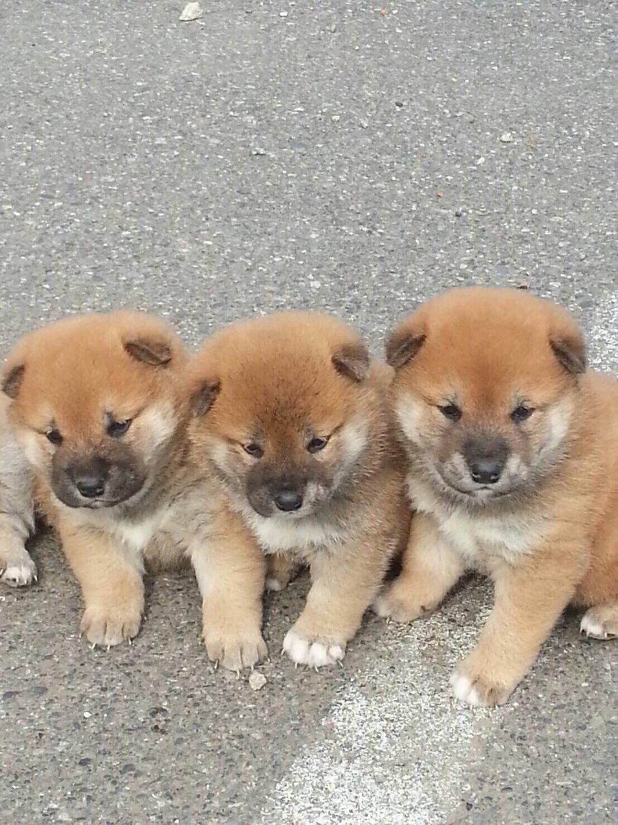 妹の仕事場の看板柴犬が子犬を産んだので写真送ってもらった!! コロコロ!!