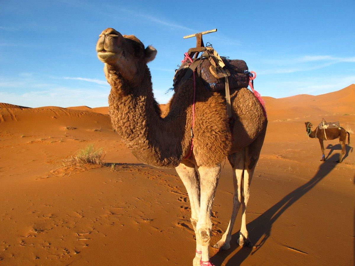 жизни картинка верблюды корабли пустыни именно