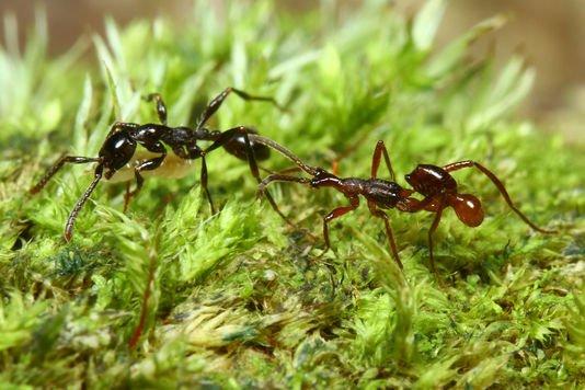 Des coléoptères incognito chez les fourmis https://t.co/4I1oDCzIv1 #coleopteres #fourmis #insectes