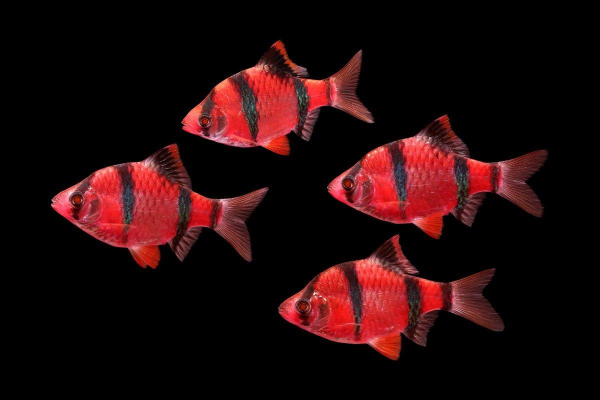 GloFish® on Twitter: \