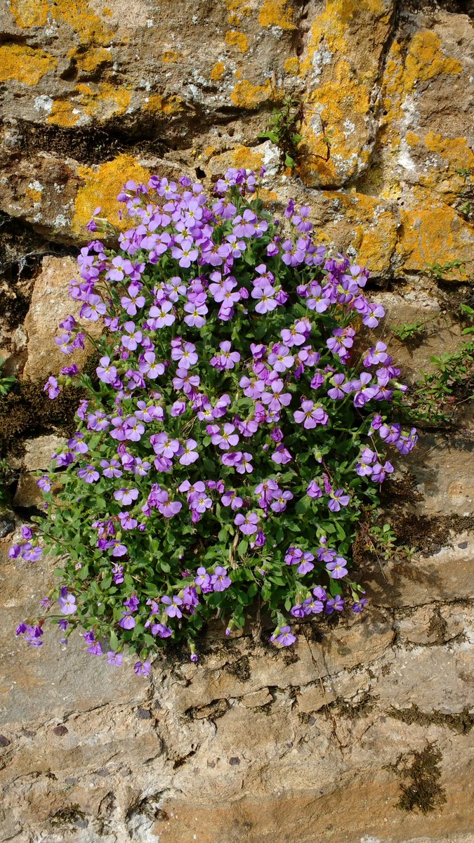 Lovely purple #aubrieta flower along the #garden wall above the moat #springcolour #SpringHasSprung #commonrockcress