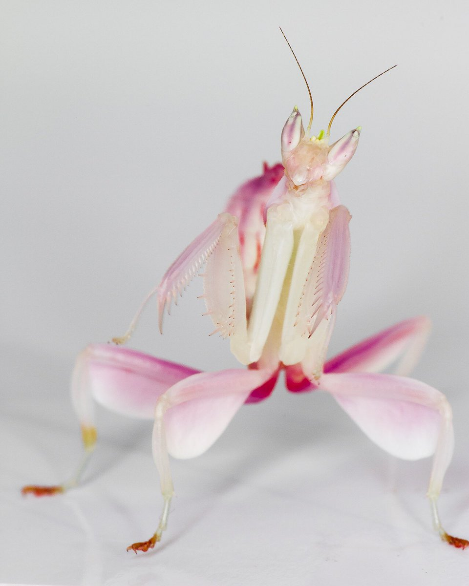 Saffron shawty on twitter creobroter gemmatus jeweled flower saffron shawty on twitter creobroter gemmatus jeweled flower mantis look at his emoji wings httpst5ffpcccrip dhlflorist Image collections
