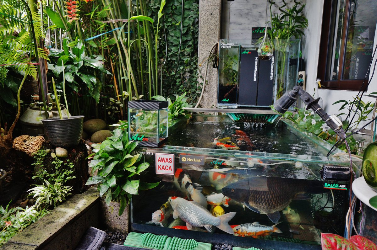 Betta Art295 On Twitter My Small Koi Glass Pond Qith Chamber Filter 33 Fishes Pond Size 1 5m X 1m Using Nitrobachter N Nitrosomonas Filter Https T Co Jlwrmwl3ey