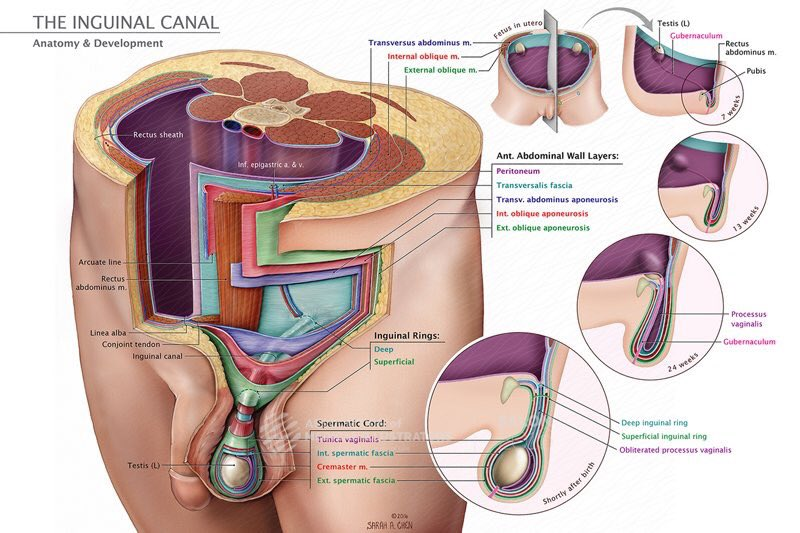 Joanna Matthan On Twitter Fantastic Illustration Of The Inguinal