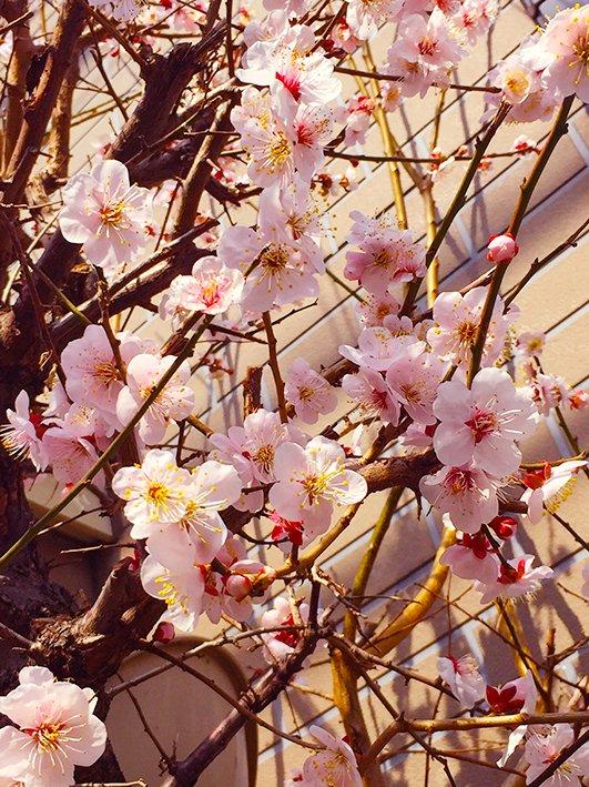 今日も天気いいなぁ。 近所の桜がもう咲いていてビックリ! もう春なんだなぁ〜。 ノンビリ散歩したので洗濯して掃除して仕事する。 #コーギー #corgi #ここのところ忙しくて全然掃除機かけていない #恐ろしい