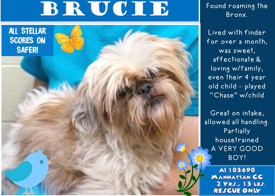 #RESCUE ~ BRUCIE ~ 2 yo shih tzu found wandering streets alone FACES DEATH Manhattan NY Kill Shelter https://t.co/3CBTJuXvxY https://t.co/0xvbwRGprk