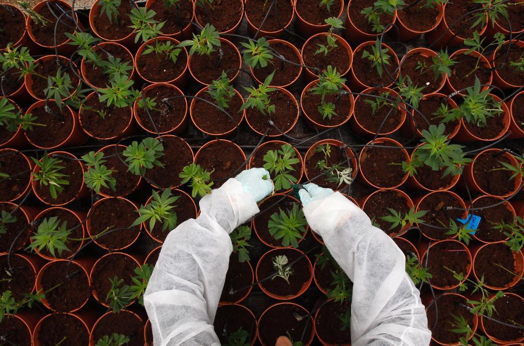 Israel moves towards decriminalizing marijuana