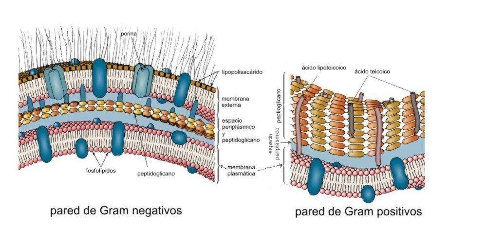 Según la envoltura celular las bacterias pueden ser Gram positivas o negativas #microMOOCSEM2 https://t.co/01W6rgNNRL