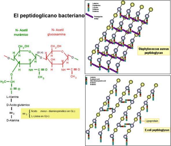 El peptidoglicano o mureína es el componente principal de la pared celular de las bacterias #microMOOCSEM2 https://t.co/IXHIElmySF
