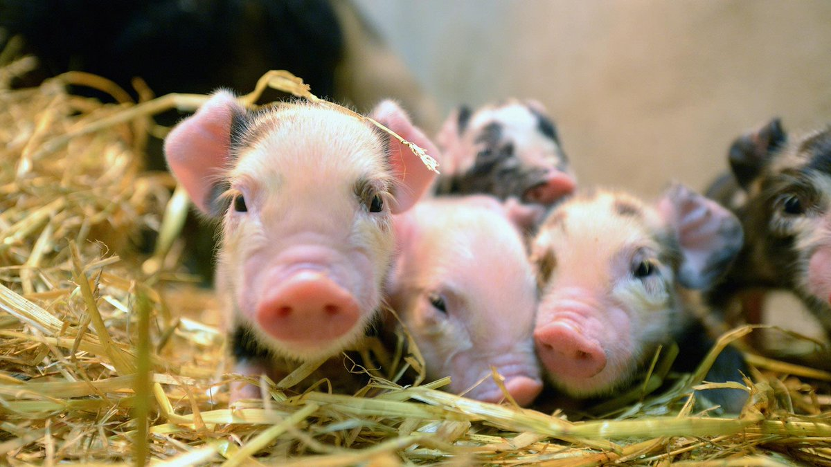 Virus-resistant pigs could save farmers billions of dollars a year