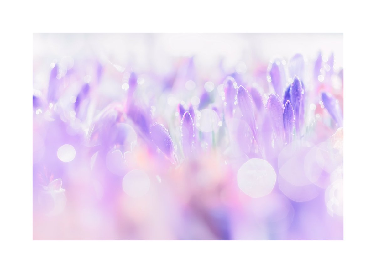 .@Vemsteroo is back on the #WexMondays shortlist, this time with a bokeh-tastic shot of crocuses in the morning https://t.co/lSblHFVwzV