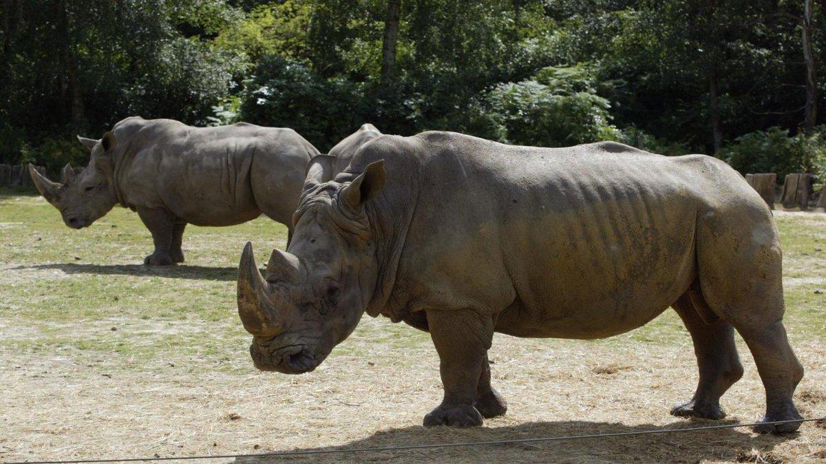 Cazadores furtivos matan a rinoceronte… en zoológico de Francia