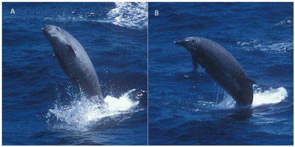 Primo Video del cetaceo Mesoplodonte di True (un po' balena un po' delfino) fotografato nelle Azzorre