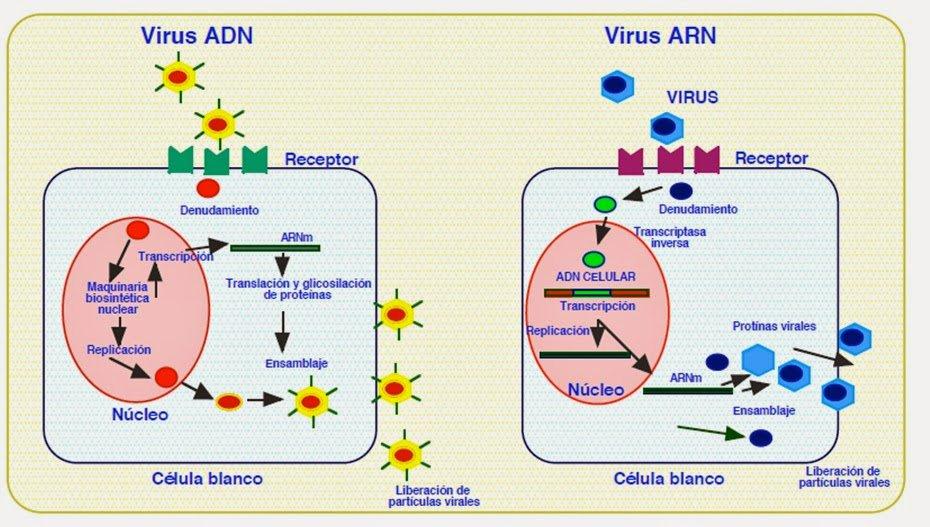 Los virus tienen cadenas de ADN o ARN con la información para reproducirse, son instrucciones para que la célula los replique #microMOOCSEM2 https://t.co/MNRqUdz834