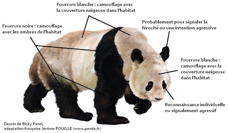 Pandafr On Twitter Pourquoi Les Pandas Géants Sont Ils