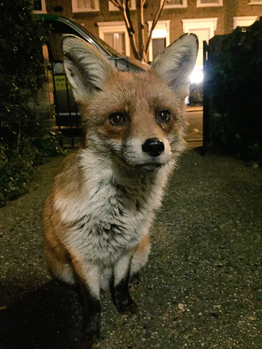Gaspard, the handsomest fox in London: https://t.co/lYew7ZFc06