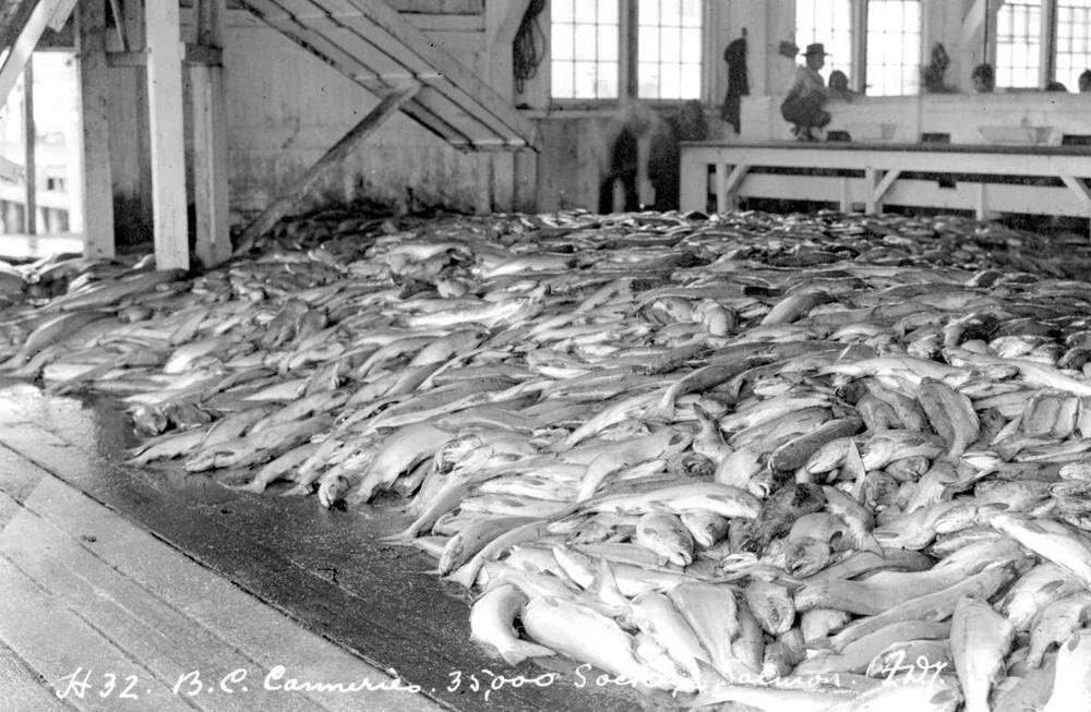 By 1890s fish populations were crashing. Not just salmon: reckless seining at river mouths ravaged the whole food chain. 5/ https://t.co/x0OLWIt2zP