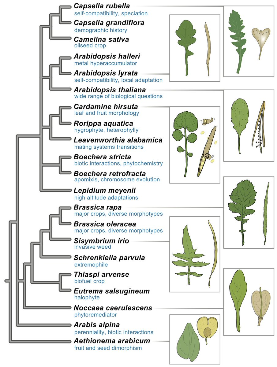 New paper on the phylogeny of the Brassicaceae