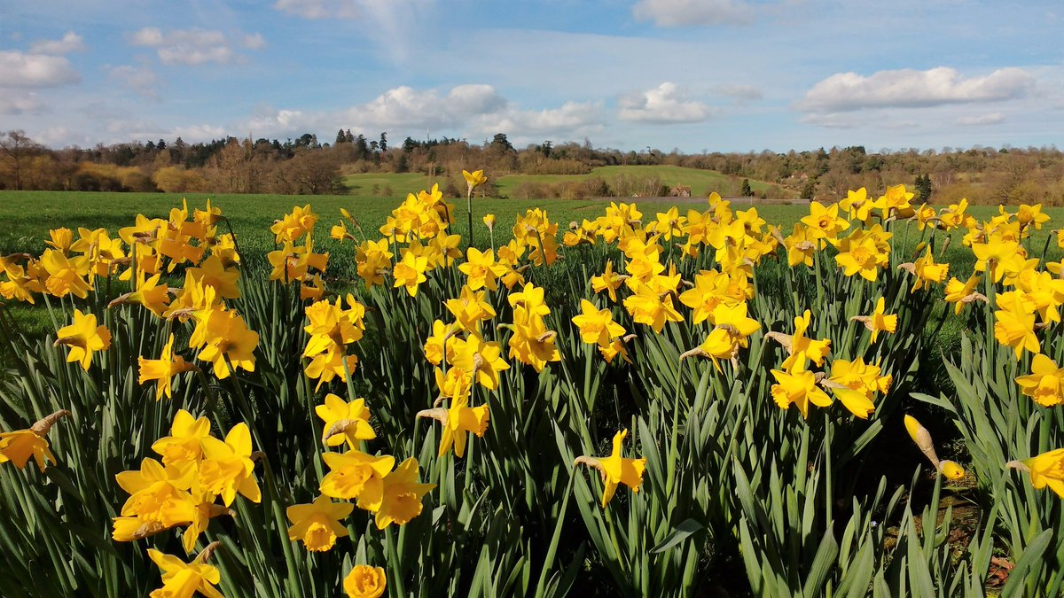 #daffodils looking gorgeous in the #spring #sunshine yesterday along the drive #loseley