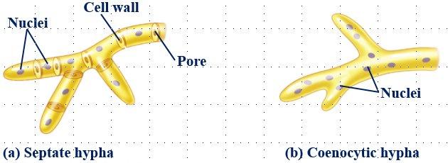 La hifa puede presentar o no septos con poros que permiten el movimiento intercelular. #microMOOCSEM2 https://t.co/sOghetYbYs