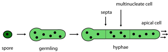 Los hongos nacen de espora que al germinar dan lugar a hifa mediante crecimiento apical Los hongos siempre van hacia adelante #microMOOCSEM2 https://t.co/YRjW0msOM4