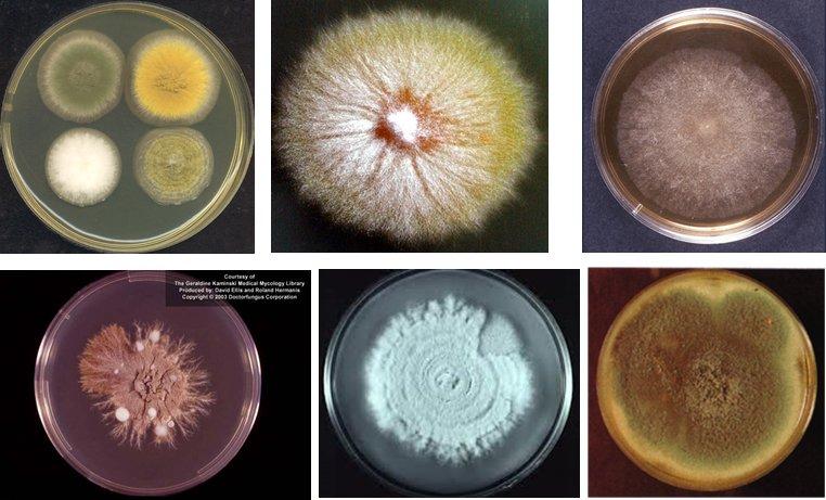 La colonia de un hongo filamentoso es circular de aspecto algodonoso de colores variables según produzca pigmentos o conidias #microMOOCSEM2 https://t.co/vABRIrqwlf