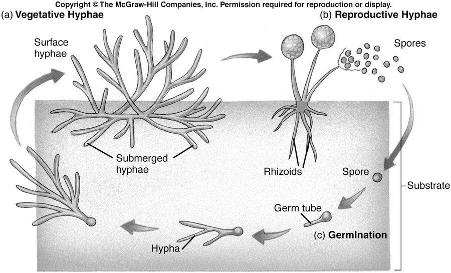 El  micelio reproductivo y vegetativo  también se manifiesta en los ciclos que desarrollan los hongos en la naturaleza #microMOOCSEM2 https://t.co/yIOukVRWaa