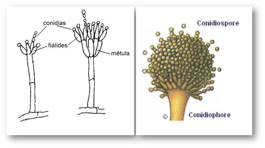 Las conidias son esporas producto de la reproducción  asexual de los hongos y sirven  para dispersarse en el ambiente #microMOOCSEM2 https://t.co/Bq4thsY2T5