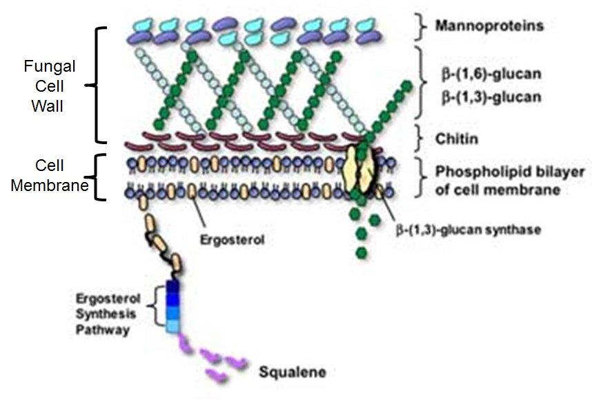 La clave está en la membrana M y pared PC: los hongos tienen ergosterol en M y abundante betaglucanos y quitina en su PC #microMOOCSEM2 https://t.co/jxjEytl4f5